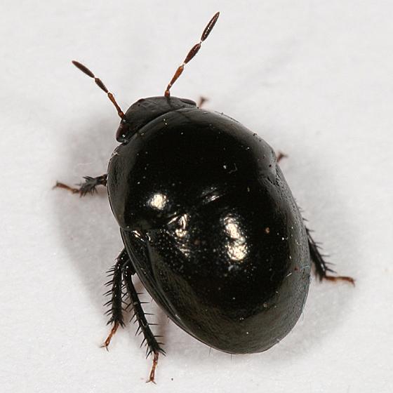 Negro Bug - Galgupha nitiduloides