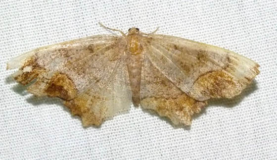Esther Moth - Hypagyrtis esther