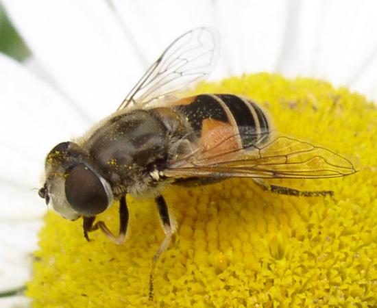 Eristalis sp. - Eristalis arbustorum - female