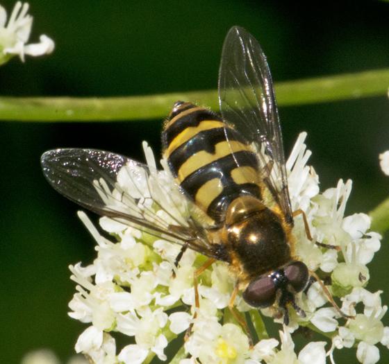 Fly on Achillea millefolium - Megasyrphus laxus