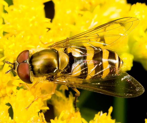 Syrphidae? - Syrphus - male