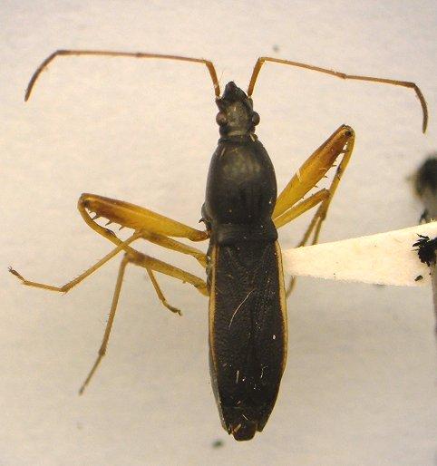 Bug - Cnemodus mavortius