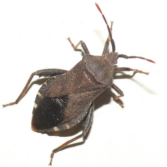 Leaf-foored bug 10.06.17 - Piezogaster calcarator