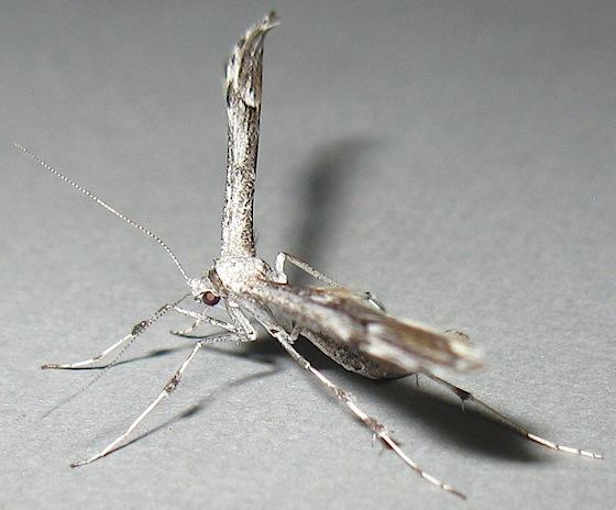 Plume Moth - Oidaematophorus