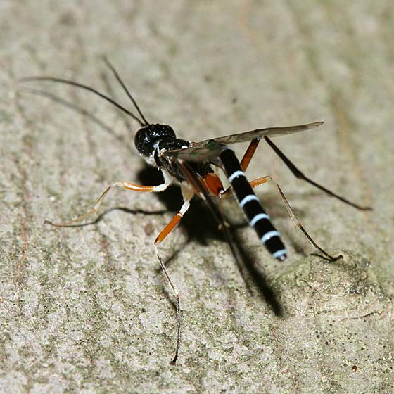 Ichneumon Wasp - Podoschistus vittifrons - male
