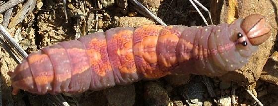 Pink Caterpillar - Heterocampa umbrata