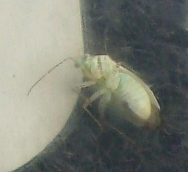 green speckled seed eater? - Pseudatomoscelis seriatus