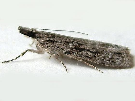 Eudonia spenceri