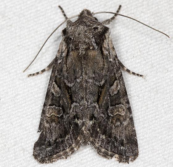 Hodges#10394 - Lacinipolia vicina