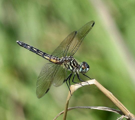 A skimmer? - Pachydiplax longipennis - female