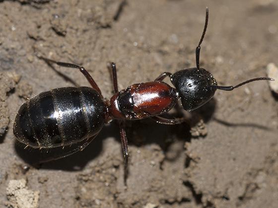 New York Carpenter Ant - Camponotus novaeboracensis - female