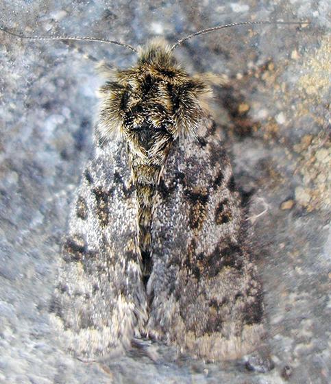 Moth - Anarta nigrolunata