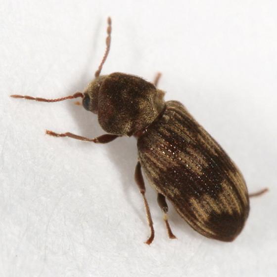 small brown paterened beetle - Hadrobregmus notatus