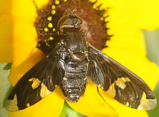 Beefly Exoprosopa decora - Exoprosopa decora - female