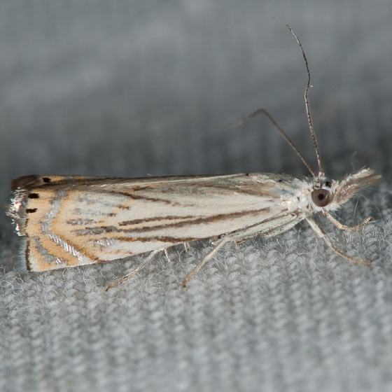 Chrysoteuchia topiaria - Chrysoteuchia topiarius
