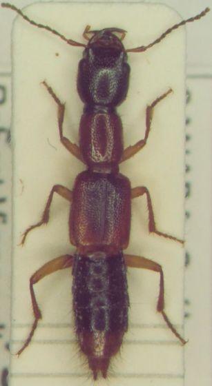 Staphylinidae 44 - Homaeotarsus