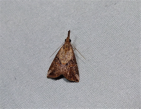 Small Moth - Hypena minualis