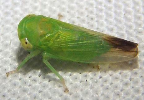 Leafhopper - Idiocerus gillettei