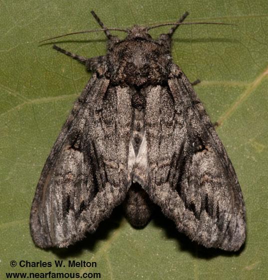 Heterocampa averna - female