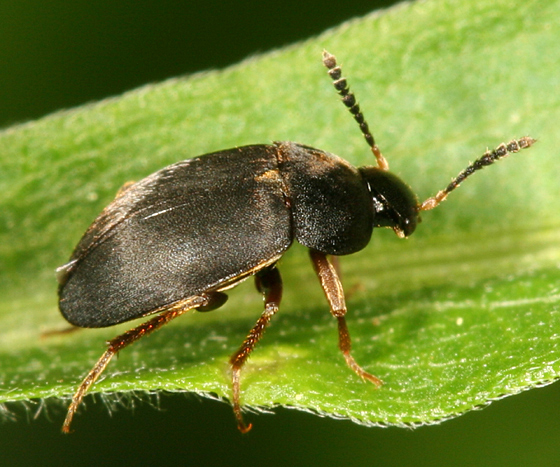 Small Carion Beetle - Catops