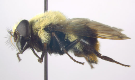 Syrphidae, lateral - Volucella bombylans-complex