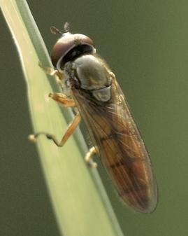 Melanostoma mellinum? - Platycheirus