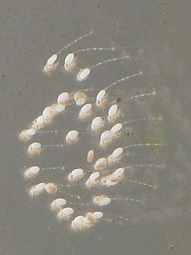 Eggs in spiral; droplets on stalks