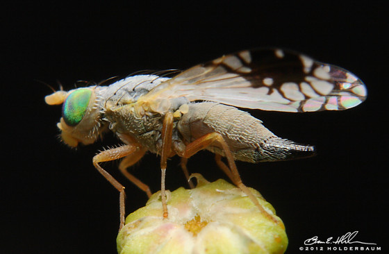 Fruit Fly - Trupanea vicina - female