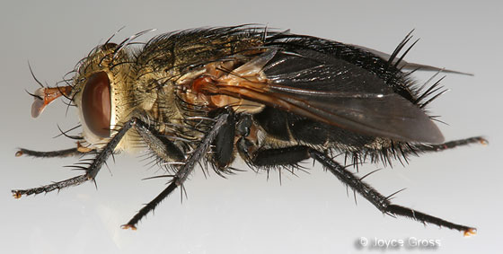 fly - Archytas apicifer
