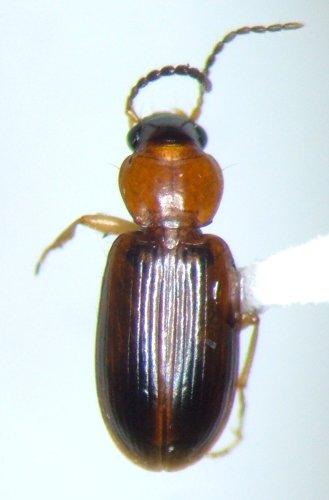 Bradycellus nigriceps