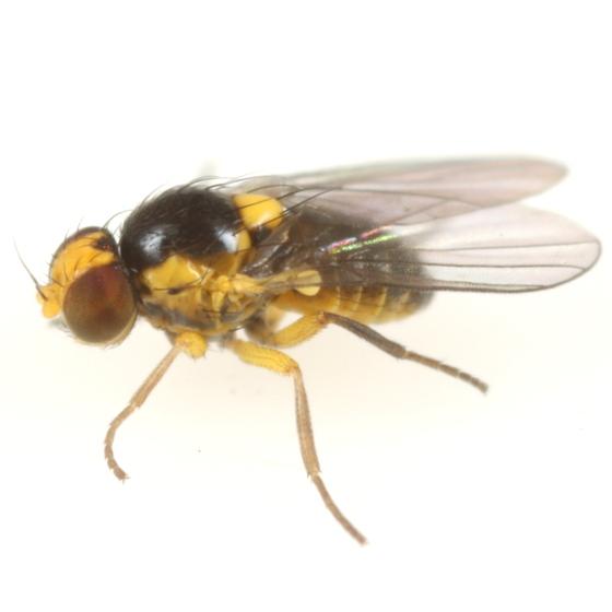 Liriomyza pistilla - male