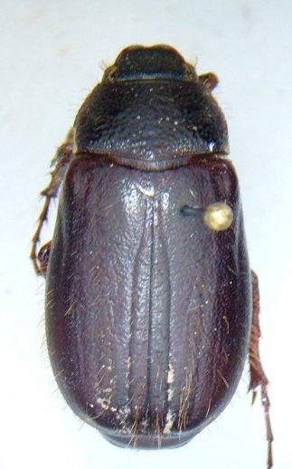 Phyllophaga hirticula - male