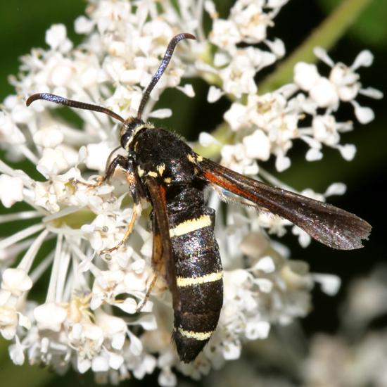 Clearwing Moth - Paranthrene tabaniformis