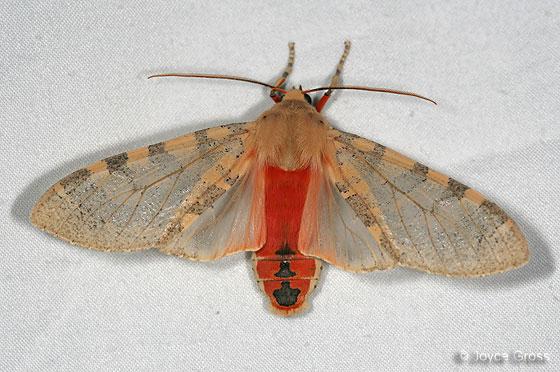 Edwards' Glassy-wing - Pseudohemihyalea edwardsii