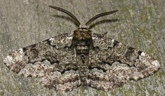 oak beauty - Phaeoura quernaria - male