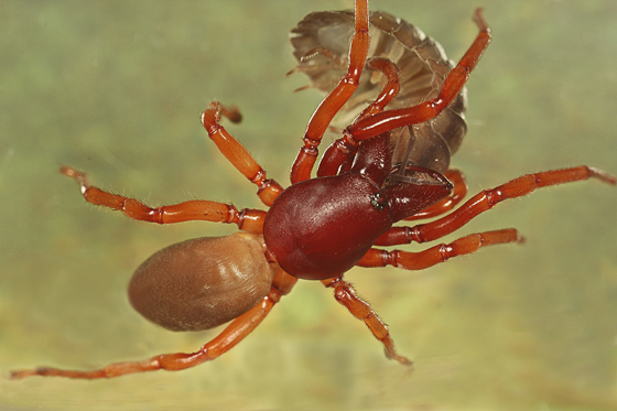 Woodlouse Spider with lunch - Dysdera crocata