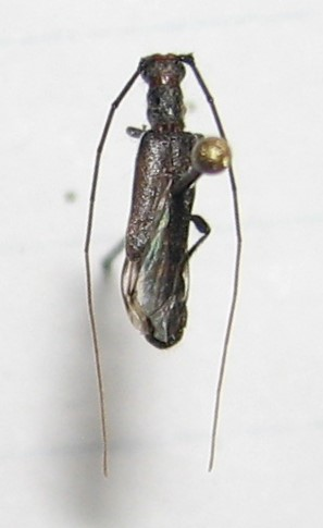 Styloxus bicolor?