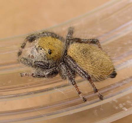 Phidippus pius - Phidippus - female