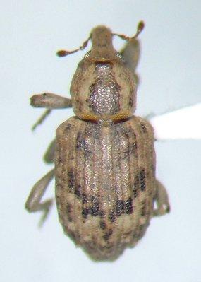 Lissorhoptrus - Lissorhoptrus oryzophilus - female