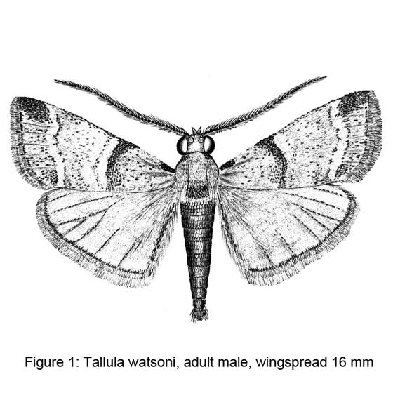 Figure 1-Tallula watson - Tallula watsoni - male