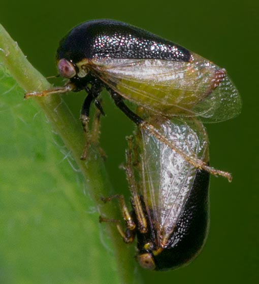 Possibly Micrutalis Treehoppers - mating - Micrutalis calva