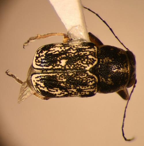 Pachybrachis sp. - Pachybrachis
