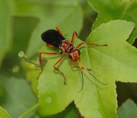 Wasp - Poecilopompilus interruptus