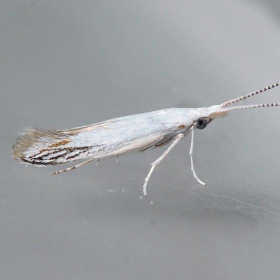Unidentified   - Coleophora tiliaefoliella