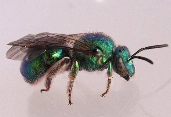 bee - Augochloropsis metallica - female