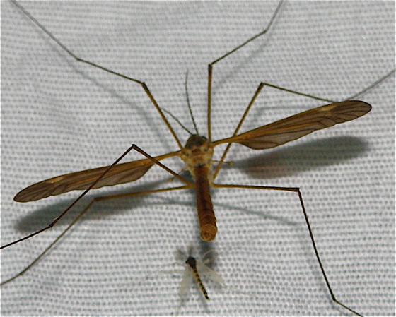 Crane Fly - Angarotipula illustris