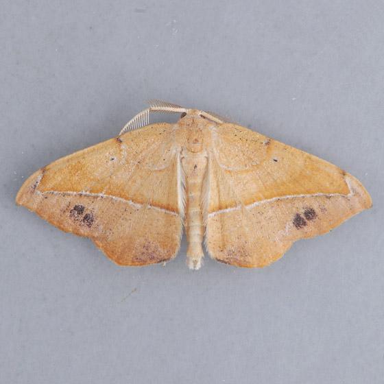 6974 Juniper Twig Geometer   - Patalene olyzonaria - male