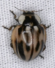 Subvittate Lady Beetle - Myzia subvittata