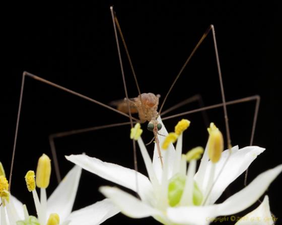 Crane Fly - Limonia communis - female