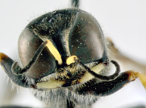 Crabronidae, head - Ectemnius maculosus - female